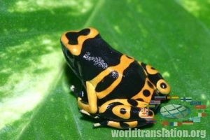 spotted dart frog