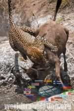 Leopard Panthera pardus hunting