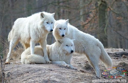 flock of polar wolves
