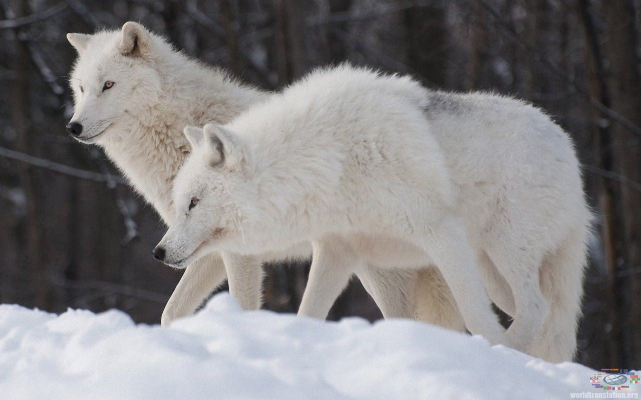 flock of Arctic wolves
